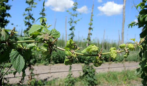 Stunted, side-arm growth on hop plant