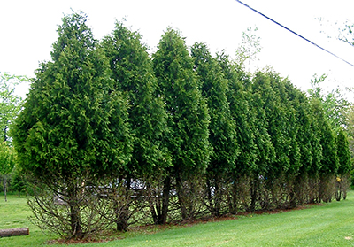 Deer damage on Arborvitae