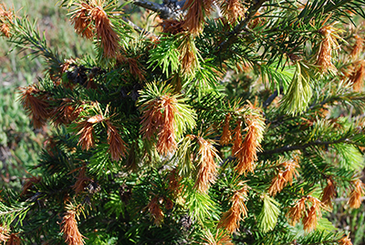 Frost injury to Douglas fir