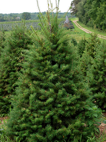 Choosing the right Christmas tree   MSU Extension