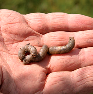 European crane fly larvae