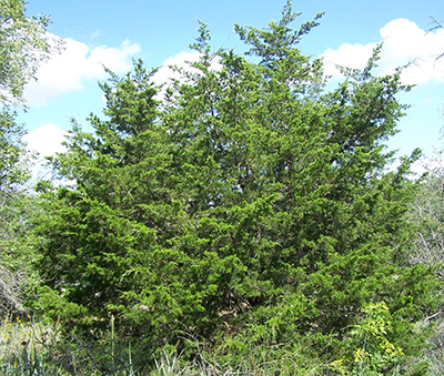 Eastern redcedar tree