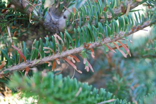 Notched and nipped needle Fraser fir damage caused by spruce-fir looper.