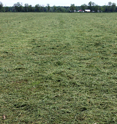 First cutting alfalfa
