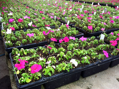 Planting of impatiens that are all stunted uniformly across the bench and caused by an abiotic problem (accidental fungicide overdose).