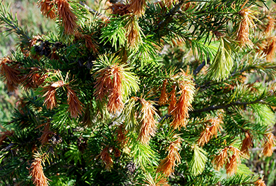 frost damage on douglas fir