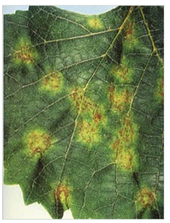 Downy mildew visible on upper side of leaf.