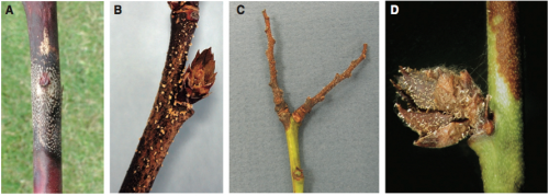 A) Cane canker caused by Colletotrichum acutatum with acervuli in concentric circles around leaf scar. B) Spore masses on a blueberry twig. C) Spore masses on old fruit spurs. D) Spore masses on flower bud scales.