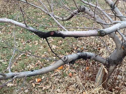 Apple limb with sooty growth associated with poorly healed pruning cut.