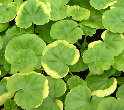 Yellow leaf edges on geranium