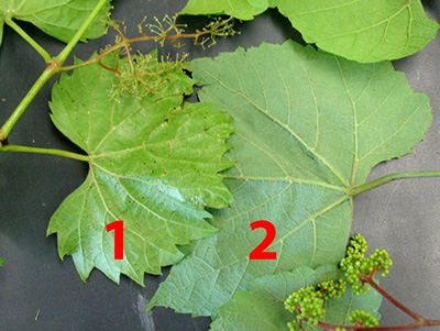 Left leaf (1) is Vitis riparia (river bank grape), and right leaf (2) is Vitis aestivalis (summer grape).