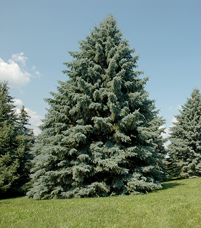 Healthy blue spruce tree