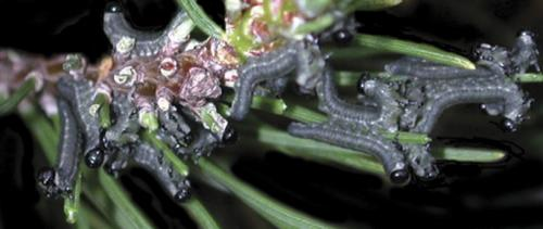 Pine sawfly larvae feed as a group and consume all the second year needles on a branch before moving to a new branch to feed.