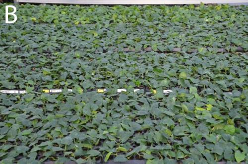 Tips on preventing poor rooting and leaf yellowing of