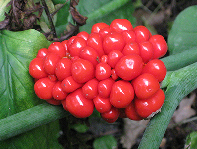 Jack-in-the-Pulpit berry cluster