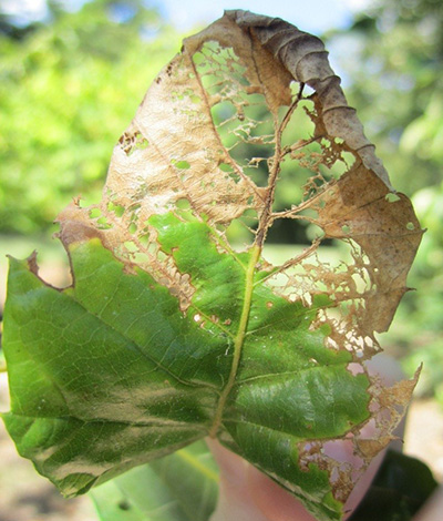 Japanese beetle damage on chestnut leaf