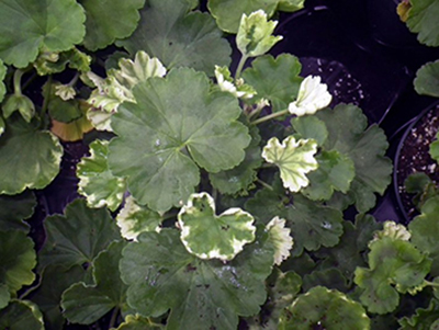 Geranium with phytotoxicity
