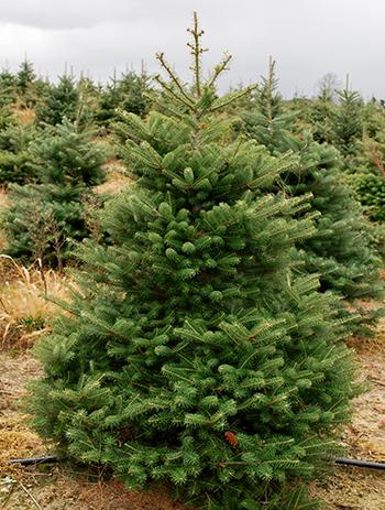 Choosing the right Christmas tree - Christmas Trees