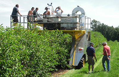 Berry harvester harvesting cherries