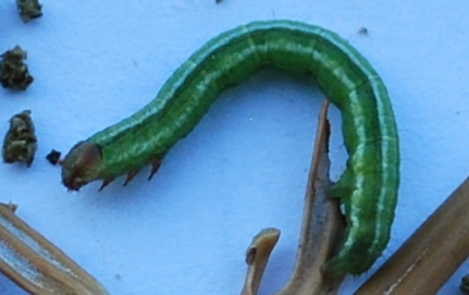 Caterpillar of the spruce-fir looper