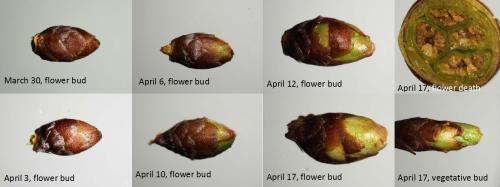 Tart cherry bud stages