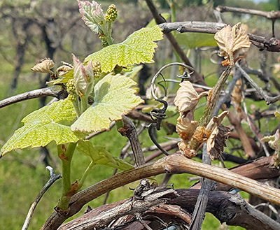 Healthy 'Niagara' grape shoots