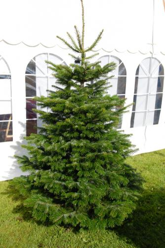 Christmas Trees For Connoisseurs Try An Exotic Species This Year