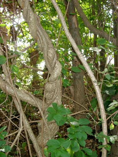 oriental bittersweet an aggressive invasive plant msu extension