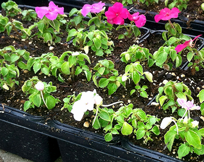Leaf cupping and plant stunting on impatiens