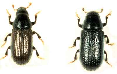 Pine shoot beetle adults