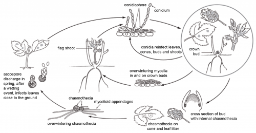 Podosphaera macularis life cycle