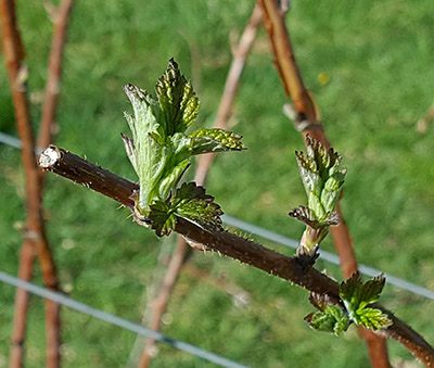 Raspberry leaves unfolding