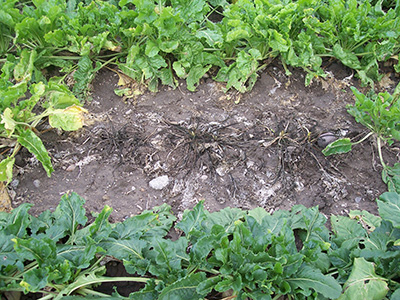 Rhizoctonia on sugarbeets