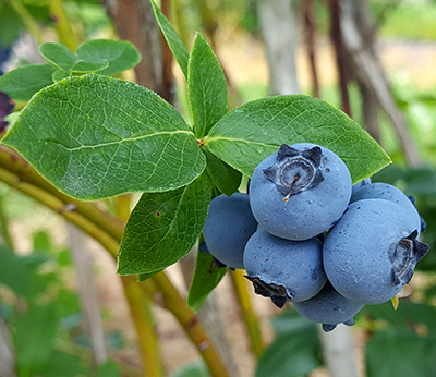 ripe blueberry cluster