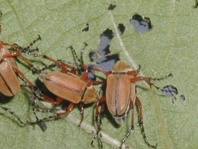 rose chafers on a leaf
