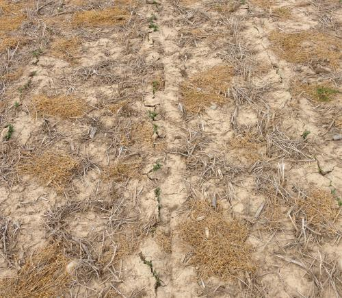 Photo 2. Soybeans planted in wide rows cracking a thick soil crust. Photo by Mike Staton, MSU Extension.