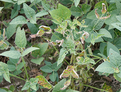 Soybean sudden death syndrome