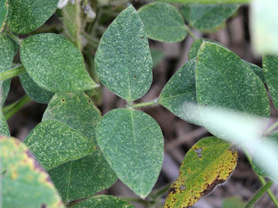 Spider mite damage on soybeans