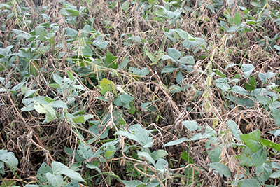 Soybean white mold