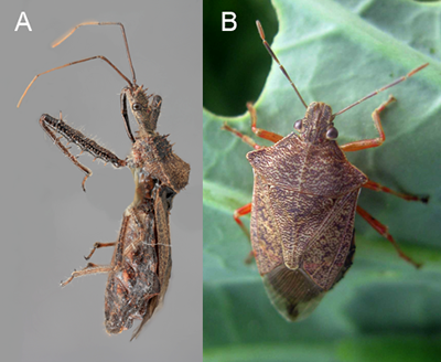 Assassin bug (left) and spined solider bug (right)