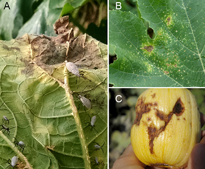 Squash bug damage on leaves and fruit