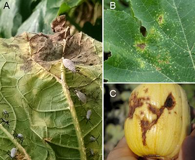 Squash bug damage on leaves and fruit