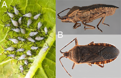 Squash bug nymphs and adults