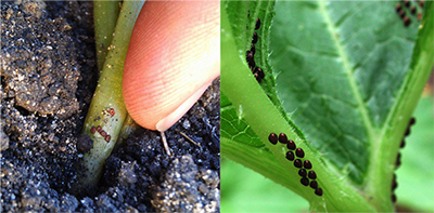 Squash vine borer eggs and squash bug eggs