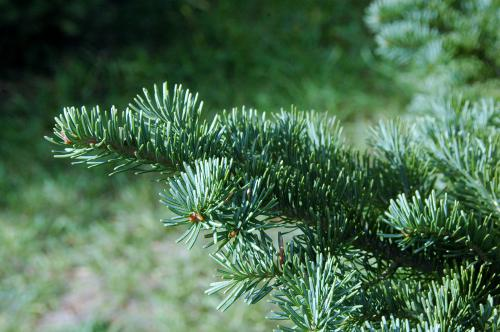 Where to cut your own Christmas tree in MI  this year