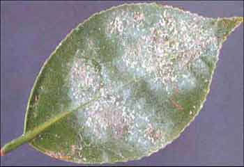 Underside of leaves