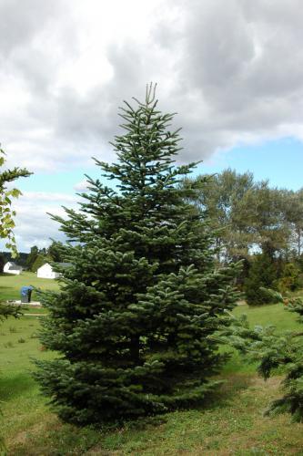 Turkish fir