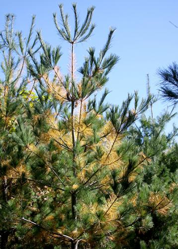White pine needle color