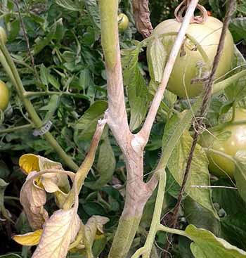 White mold on tomato