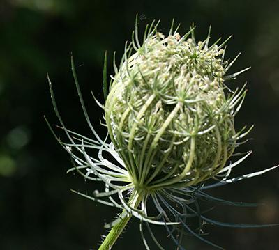 Closed wild carrot flower. Photo credit: Chris Evans, Illinois Wildlife Action Plan, Bugwood.org